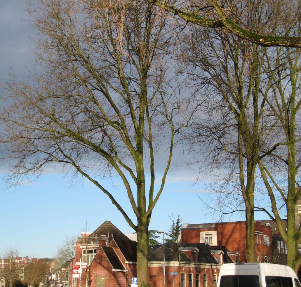 """""""Lion's tail"""" op kruising Verlengde lodewijkstraat en Oosterweg"""