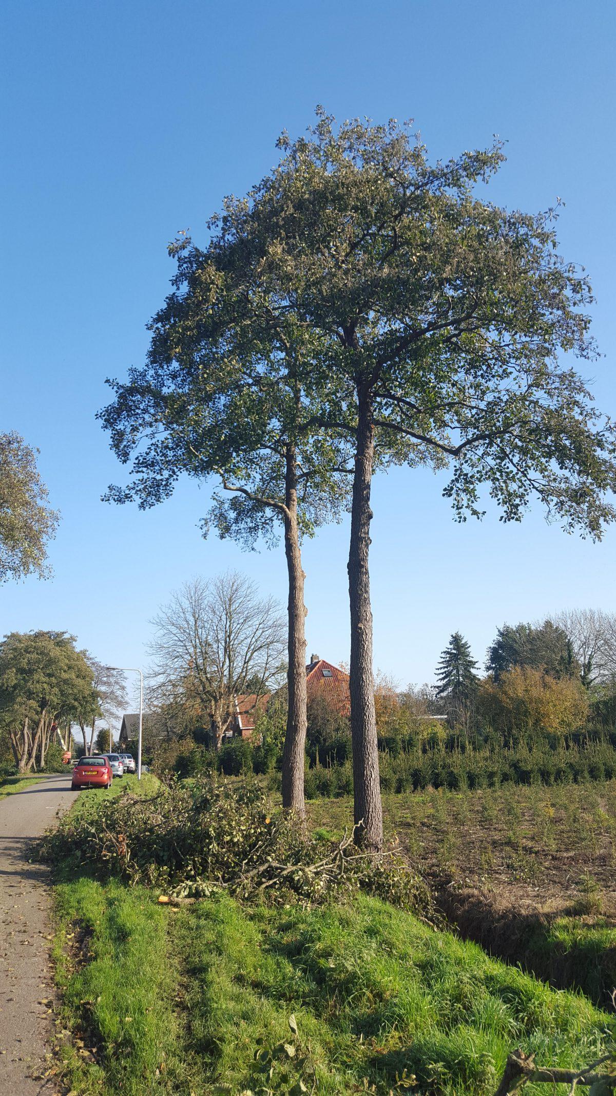 Open Brief naar de Raad – Stop het onomkeerbaar beschadiging van onze stadsbomen