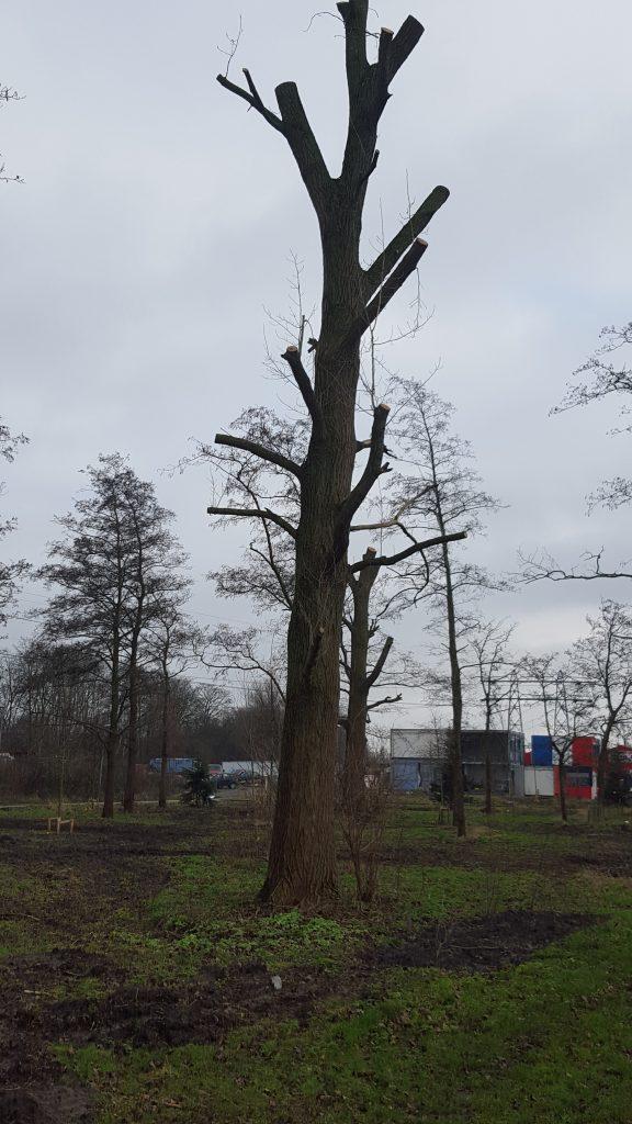 Topped poplar in Groningen 2021
